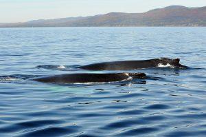 forillon-baleines-29-septembre-2013-019-marc-debain